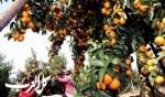 قطف البرتقال في قرية صينية