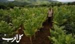 مزارع التبغ في كولومبيا.. صور