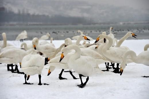 البجع الأبيض بين الثلوج والجليد