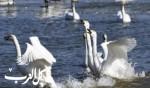بحيرة البجع الصينية..صور