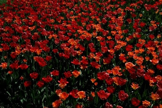 صور ساحرة من فيينا لازهار التوليب