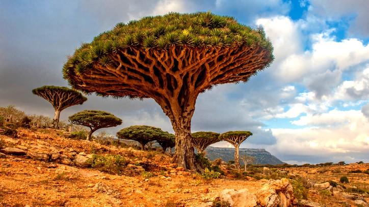 شجرة دم التنين من غرائب عالم النبات