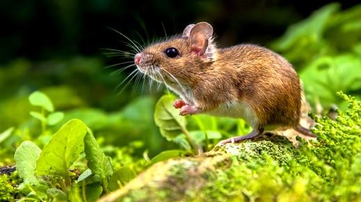 الفئران تغزو حقول ألمانيا بشكل غير مسبوق