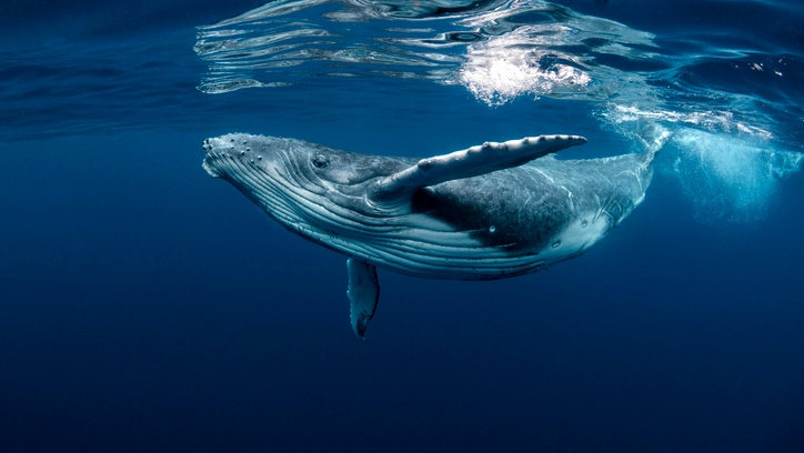 الحوت الأحدب يبتلع غواصًا امريكيًا!