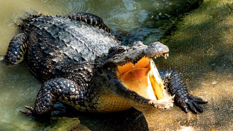 تمساح يثير الذعر في قرية مصرية!