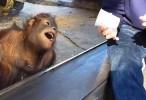 شاهدوا ردة فعل مضحكة ورهيبة لقرد يشاهد خدع سحرية - فيديو غرائب 2015