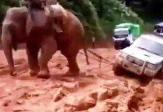 فيل ساعد بأعادة سيارة الى مسلولها بعد ان انزلق مع المطر